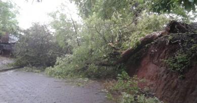 Otro caso se reportó en el camino que lleva a Praderas del Mombacho donde un árbol de acetuno de unos 6 metros de alto también cedió por efecto de la humedad y el viento. En este sector la comunidad se benefició con la madera