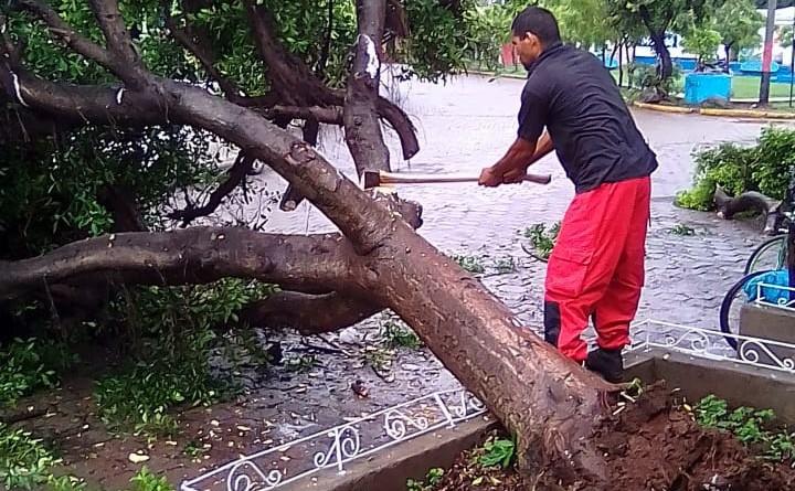 En el sector conocido como Chico Tripa cayó un frondoso laurel de la india que cobijaba con su sombra a los transeúntes que a diario se movilizan por ese sector.