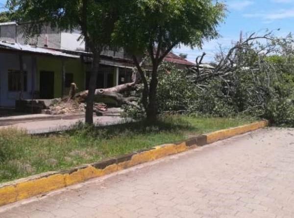 Viejo árbol de mamón en el suelo