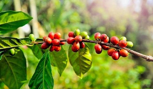 El cultivo de café que el ciclo pasado tuvo excelente desempeño, ofrece perspectivas de alto crecimiento