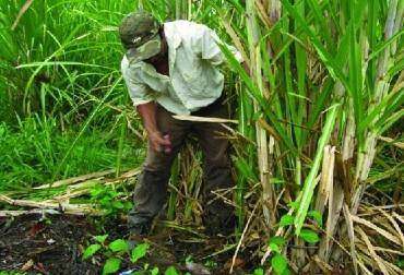 La caña de azúcar con más áreas de producción y  mejoras en la tecnología gozará de aumentos en la producción