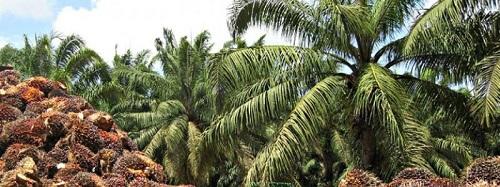 Muy robusta será la producción de palma africana con grandes extensiones que entrarán por primera vez en explotación