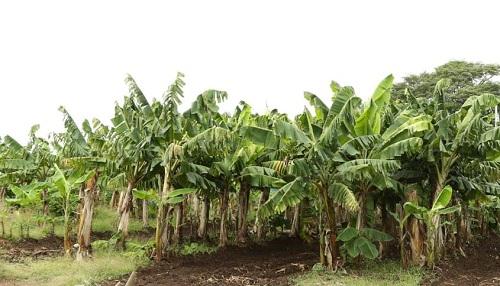 Entre las musáceas, el plátano va a la cabeza con un incremento del 8.6%