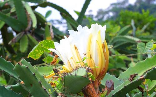 Preciosa, olorosa y efímera, es la flor de pitahaya