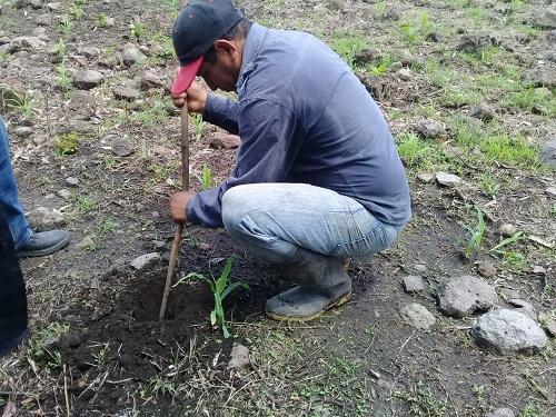 En una parcela de Sébaco, comprobando la excelente  humedad del suelo para proceder a la siembra