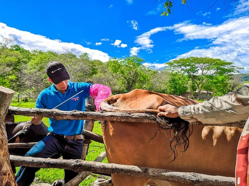 En labores de inseminación artificial en una finca del caserío Gúasimo en la comarca Las Mercedes en El Sauce