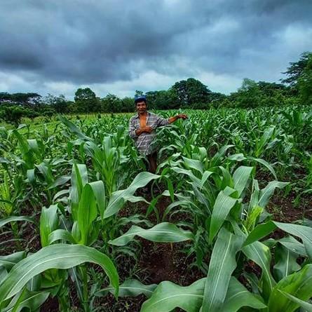 parcela sembrada de maíz