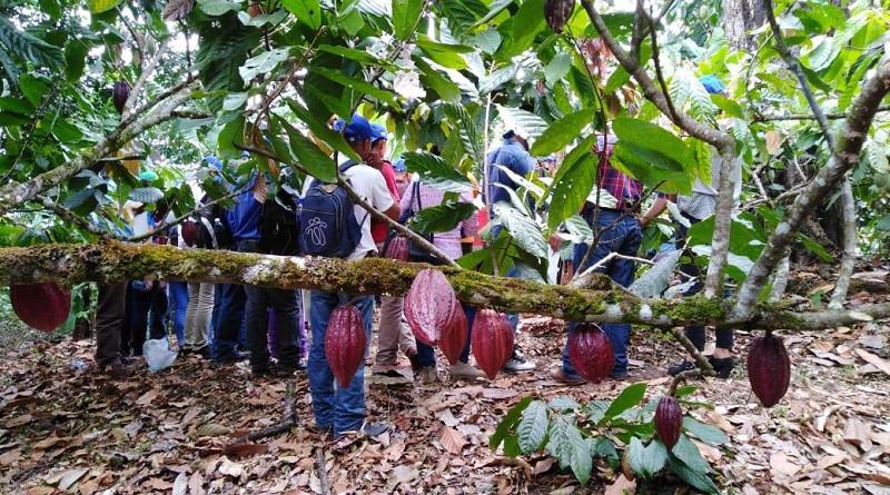 El  cultivo de cacao una actividad de peso