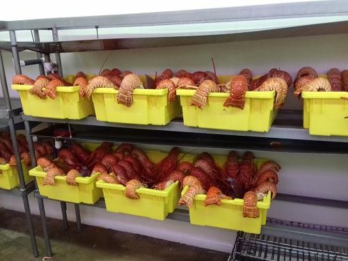 Excelente producción  y exportación de de langosta lo mismo que otros productos marinos de escamas y camarón de cultivo