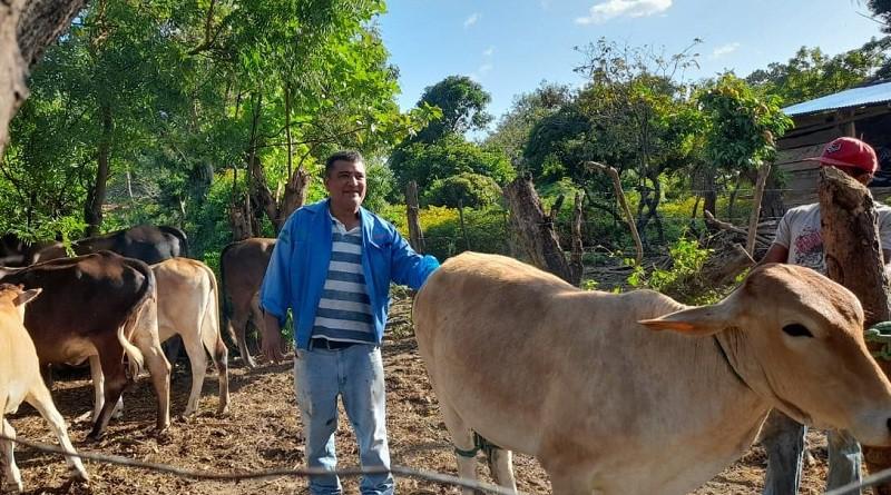 Aplicando protocolos de celo en ganado de productores de Ciudadela Alexandra y Santa Teresa en Altagracia